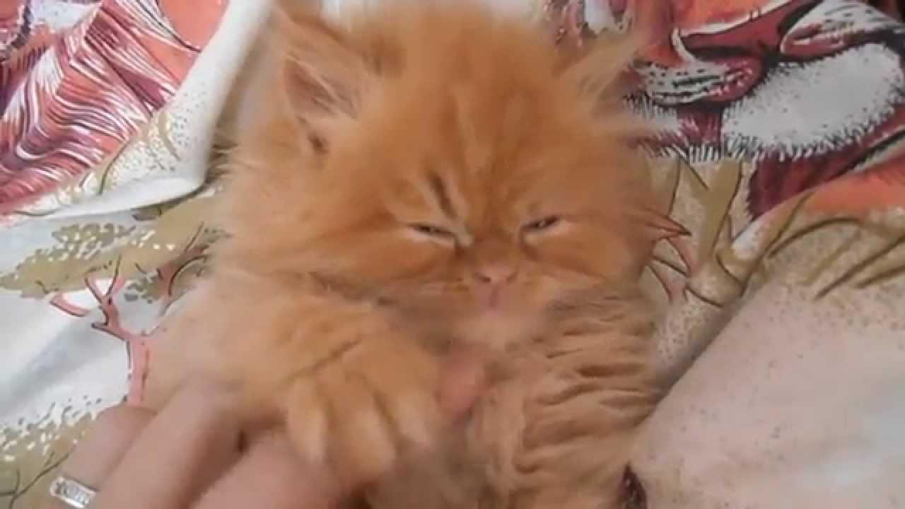 Очень милый рыжий  персидский котенок!)
