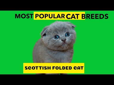 Scottish Fold Cat Most Popular Cat Breed