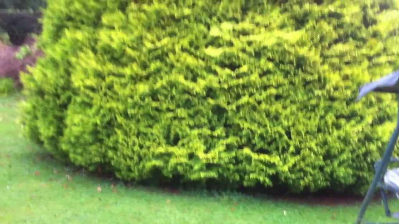 Skirtlifting A Large Conifer 1