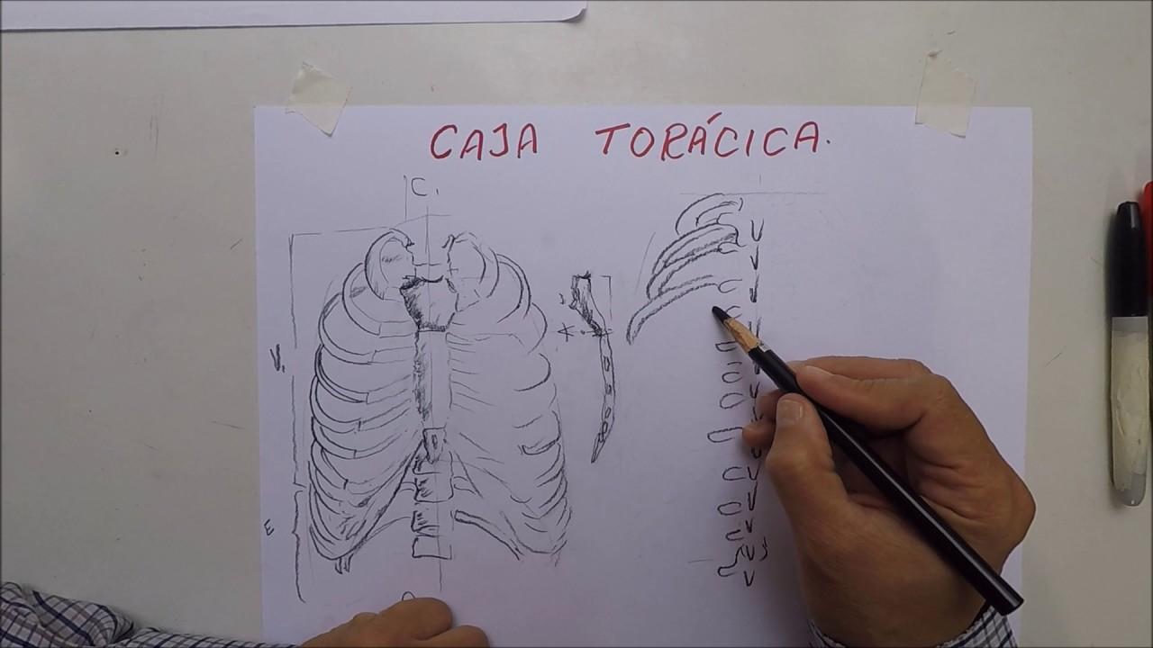 Dibujo de caja toracica - YouTube