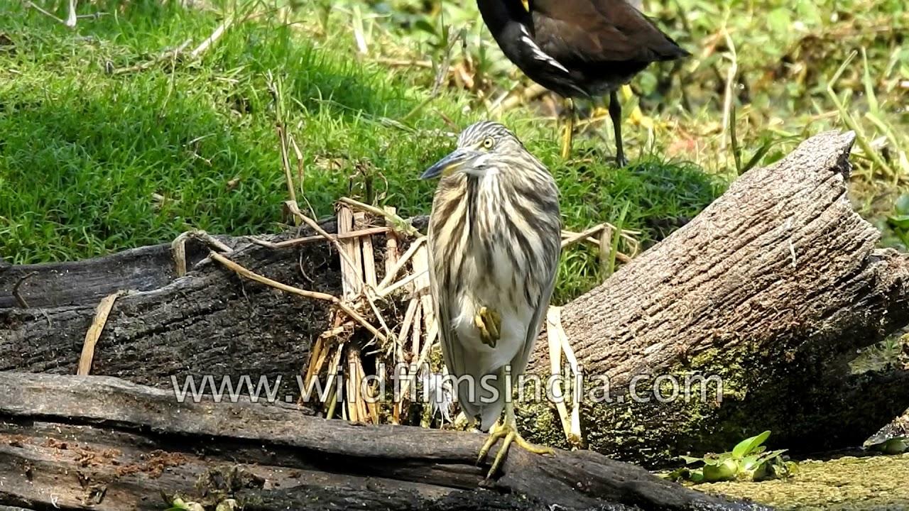 Ardeola grayii Name Telling Birds Series Article by V Kirubhanandhini. பெயர் சொல்லும் பறவைகள் 15 – நாரை | முனைவர். வெ. கிருபாநந்தினி