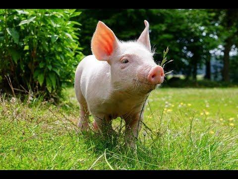 Как я справляюсь с поносом у свиней. Мой методы лечения.