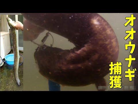 【激闘】巨大オオウナギにリベンジ 1m越えを捕獲【巨大魚】調理するのも一苦労