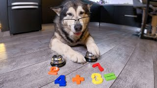 Самая Умная собака в мире Решает Примеры / Маламут Гений