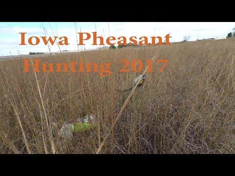 Pheasant Hunting Iowa
