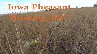 Pheasant Hunting Iowa