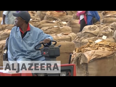 Zimbabwean tobacco farmers suffer from drought