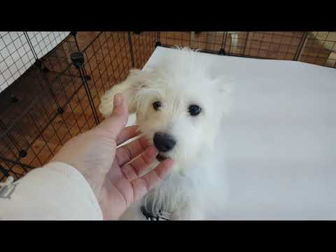 Snoopy the cutest Maltipoo puppy at Puppy heaven!