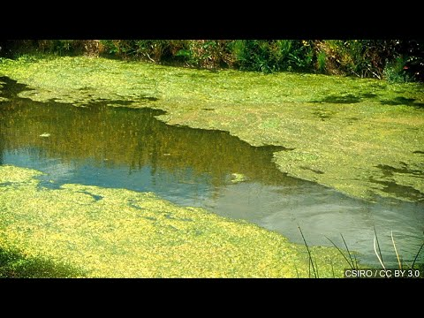 Jo Mercer - Algae in Berks Ponds and Lakes holds Toxins that can Kill your Dog