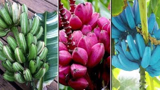 Different Types of Bananas | Pink Banana, Blue Java Banana, Musa Praying Hands