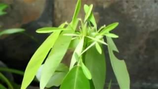 Растение-рейвер