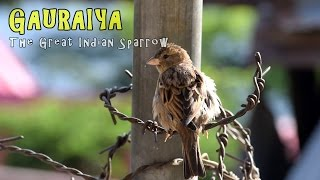 Gauraiya : The Great Indian Sparrow | 7th National Science Film Festival And Competition |