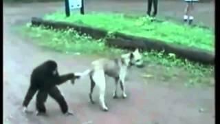 Смешные обезьяны часть 1 август 2014