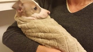 Italian Greyhound Ludwig Bath