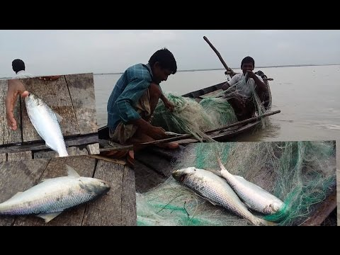 Live ilish(Hilsa) Fish catching in River|ilish fish catching|ইলিশ মাছ
