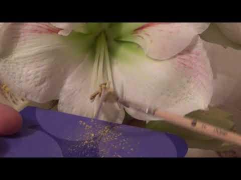 Вопрос: Как выглядят семена амариллиса, фото?