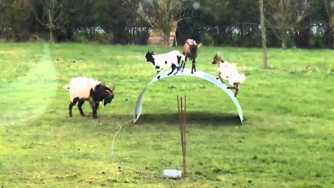 Goats Playing On A Metal Sheet Youtube