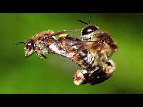 Как ебутся пчелы