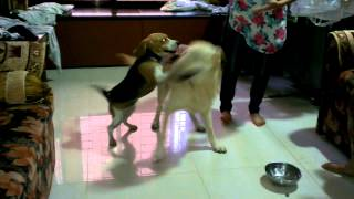 Beagle Vs Labrador