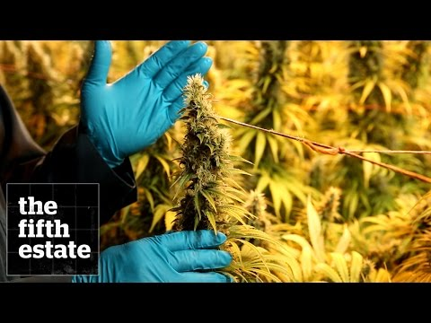 The New Breed of Marijuana Grow Op - the fifth estate