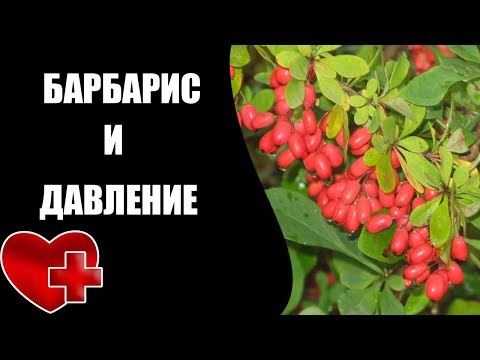 Барбарис и лечебные свойства от давления
