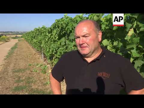 wine article Hot weather forces the earliest harvest ever in Germany