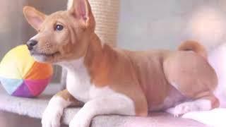 Собаки и щенки породы Басенджи