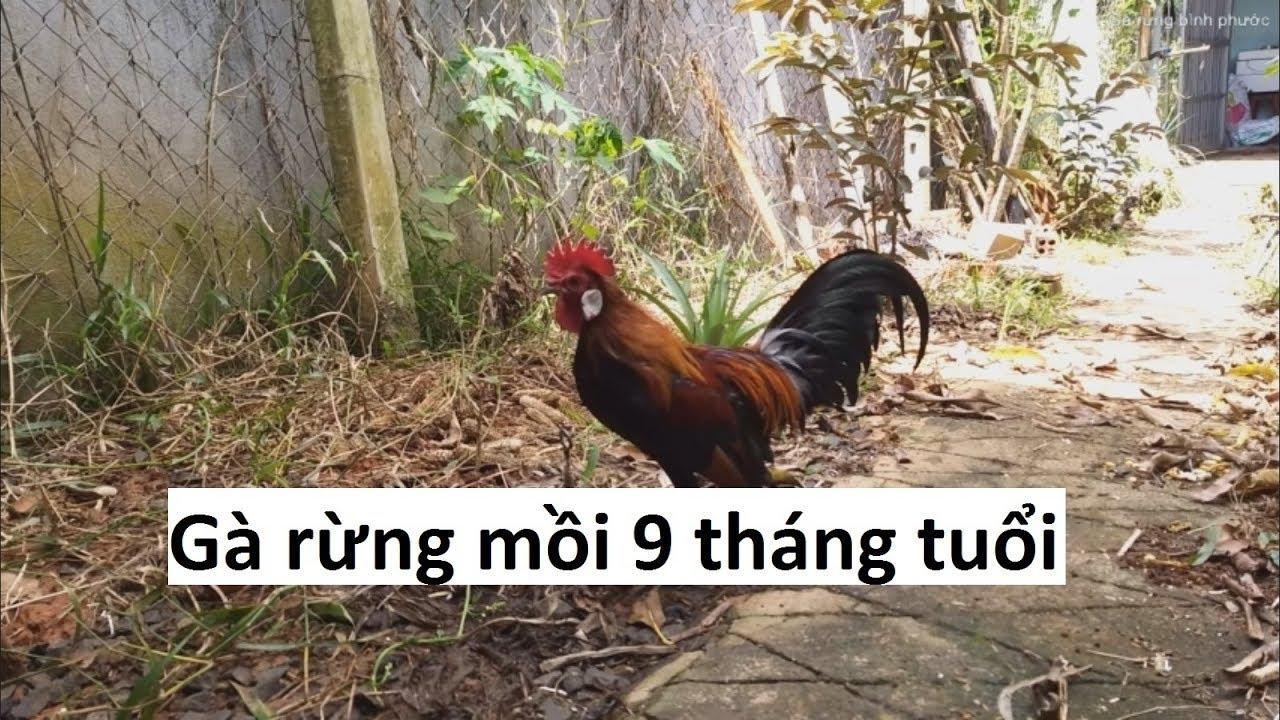 MS 43: Vẻ đẹp và giọng gáy của gà rừng mồi ( đã bán)