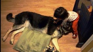 Baby Loves German Shepherd, Falls Asleep On German Shepherd.