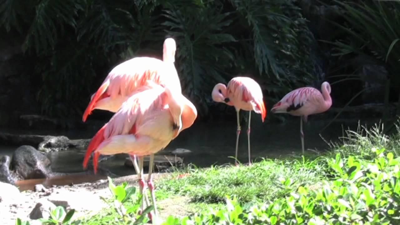 pink flamingo u0027s in slow motion youtube