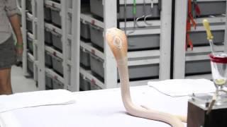 Venom Extraction: Monocled Cobra