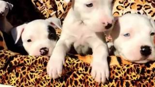 """SPARTACUS & STORMS"" BLUE, WHITE & BLACK PIT BULL PUPPIES CHILLIN OUTSIDE ~ ""4 SALE"""