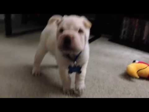 Cutest Cream Chinese Shar Pei puppy Prince Buzow's First  Video