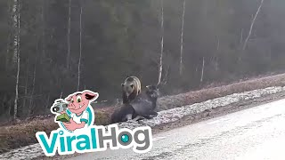 a-bear-hunts-a-moose-viralhog