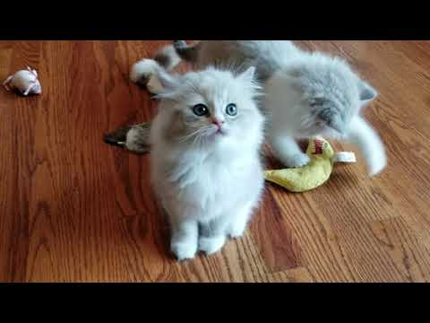 RagaMuffin Kittens - The Moody Blues Litter 9 weeks old