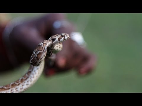 The snake-catching tribe saving lives in India