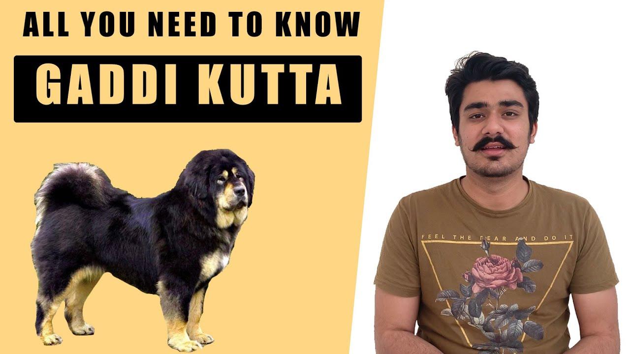 Gaddi Dog Himalayan Gaddi Dog Gaddi Dog Puppy Price In India Is It A Tibetan Mastiff Indian Dog Youtube