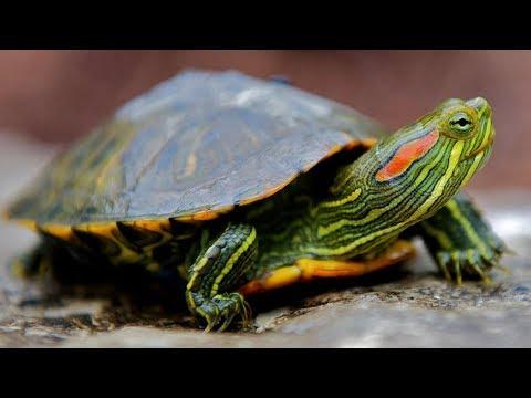 Вопрос: Что нужно для успешного и стабильного разведения красноухих черепах?