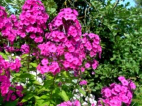 Цветы дачные фото
