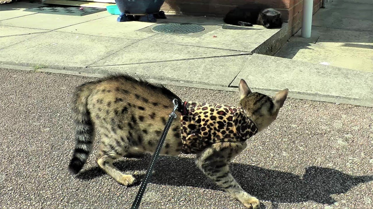 Savannah and Maine Coon cats out for a walk, Unexpected Meetings
