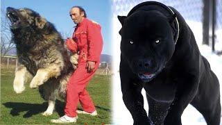 10 Najgroźniejszych RAS psów