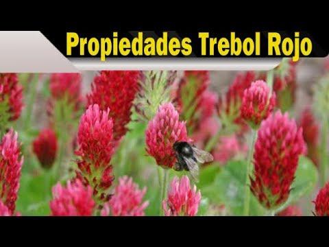 trebol-rojo:-properties-in-women's-health