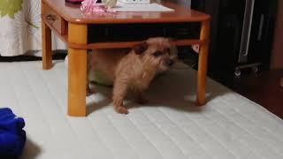 最近、小さいテーブルの下で、後足をフミフミするアリシア。