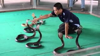 Шоу со змеями (Тайланд)