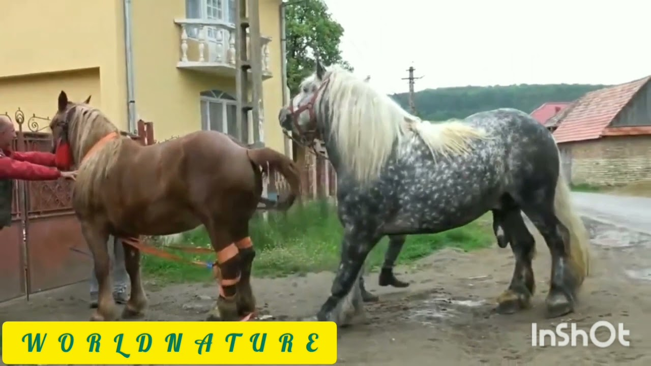 Download #mating #horse #elephant #donkey #cow # horses mating live on camera.