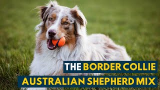 Border Collie Australian Shepherd Mix: A Video Guide to The Smartest Dog You'll Ever See!
