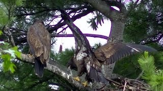 How Do Baby Eagles Learn to Fly
