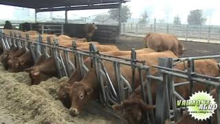 Ферма по разведению мясных пород крс