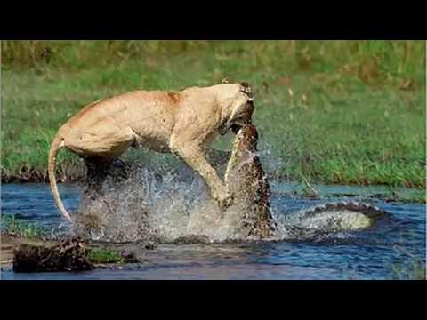 Crocodile Vs Lion Battle Fight (मगर मच और शेर की लड़ाई)last tak dekho kon win hota hai