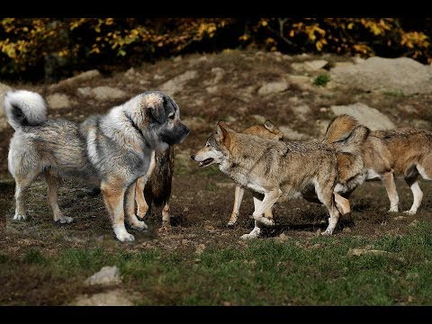 wolf vs 12 month alabai dog